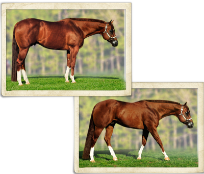 Sophistication only aqha western pleasure breeding stallion sophistication only 2003 aqha 153 hand chestnut stallion invitation only x sophistichip click here for breeding information stopboris Choice Image